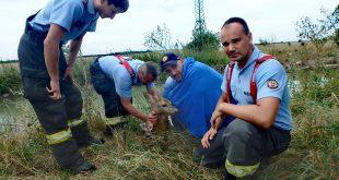 Srnka prežila vďaka rýchlemu zásahu šamorínskych hasičov