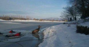 Hasiči zachránili jeleňa, ktorý by sa utopil